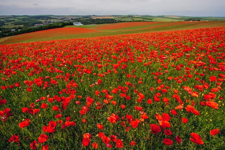 South Downs poppy field