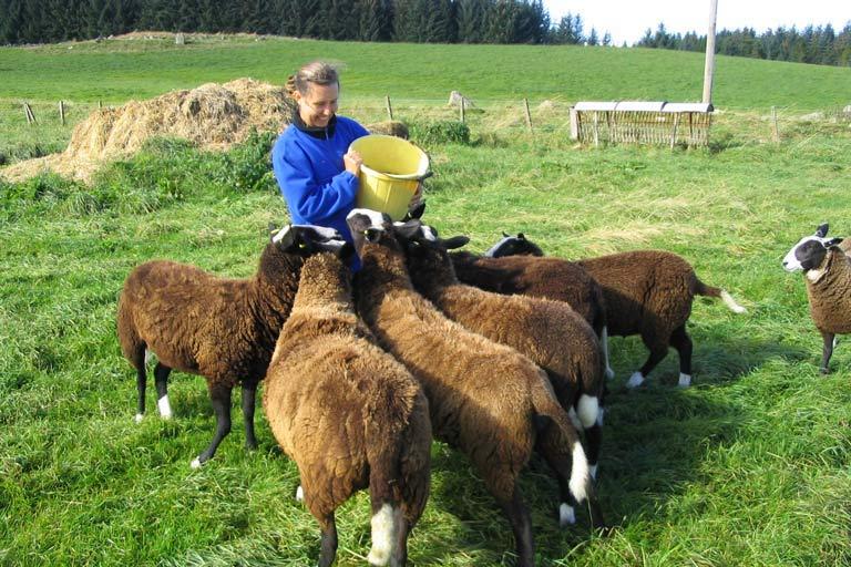 Feeding sheep on a house sit