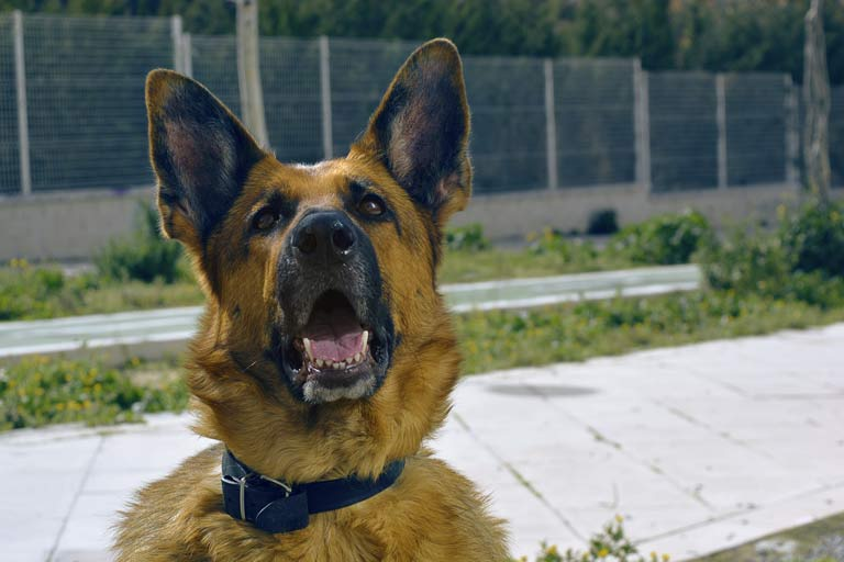 Aggressive german shepherd dog