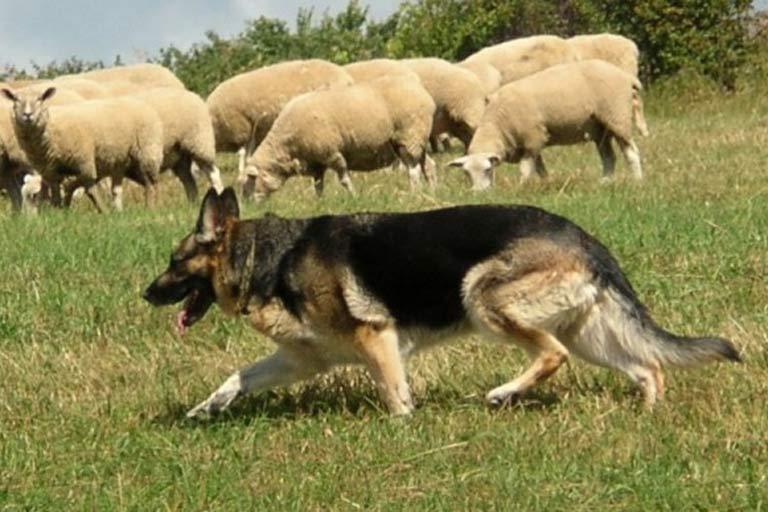 German shepherd herding sheep