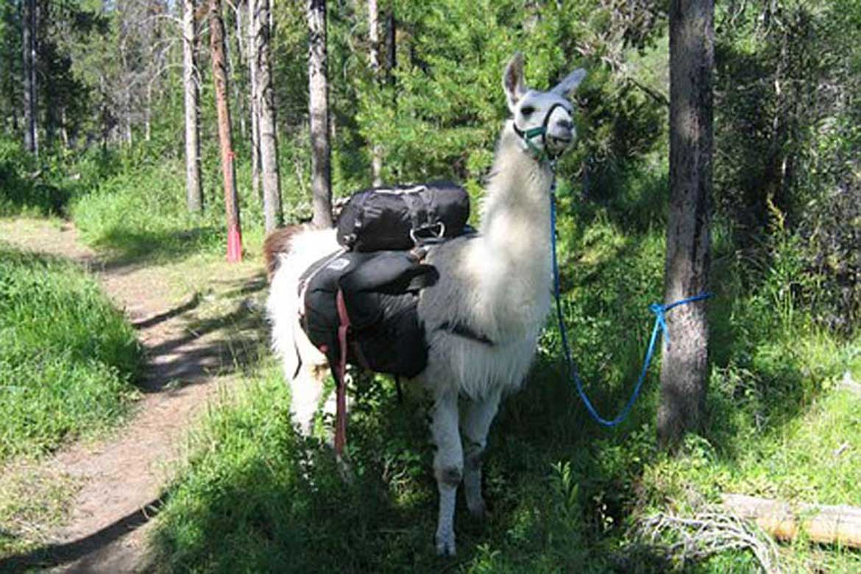 Walking a llama while pet sitting