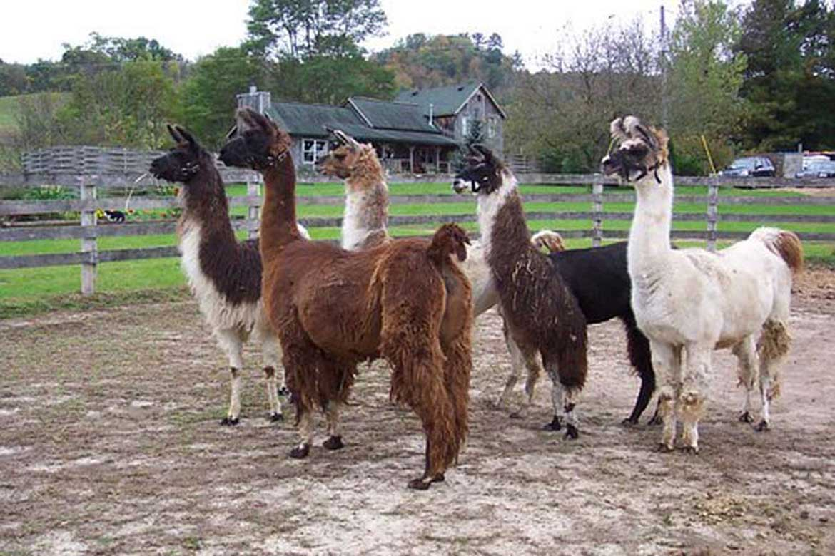 House Sitting with alpacas