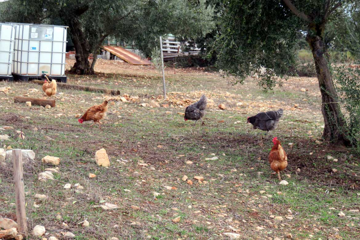 Free Ranging Chickens on a House Sit in Spain