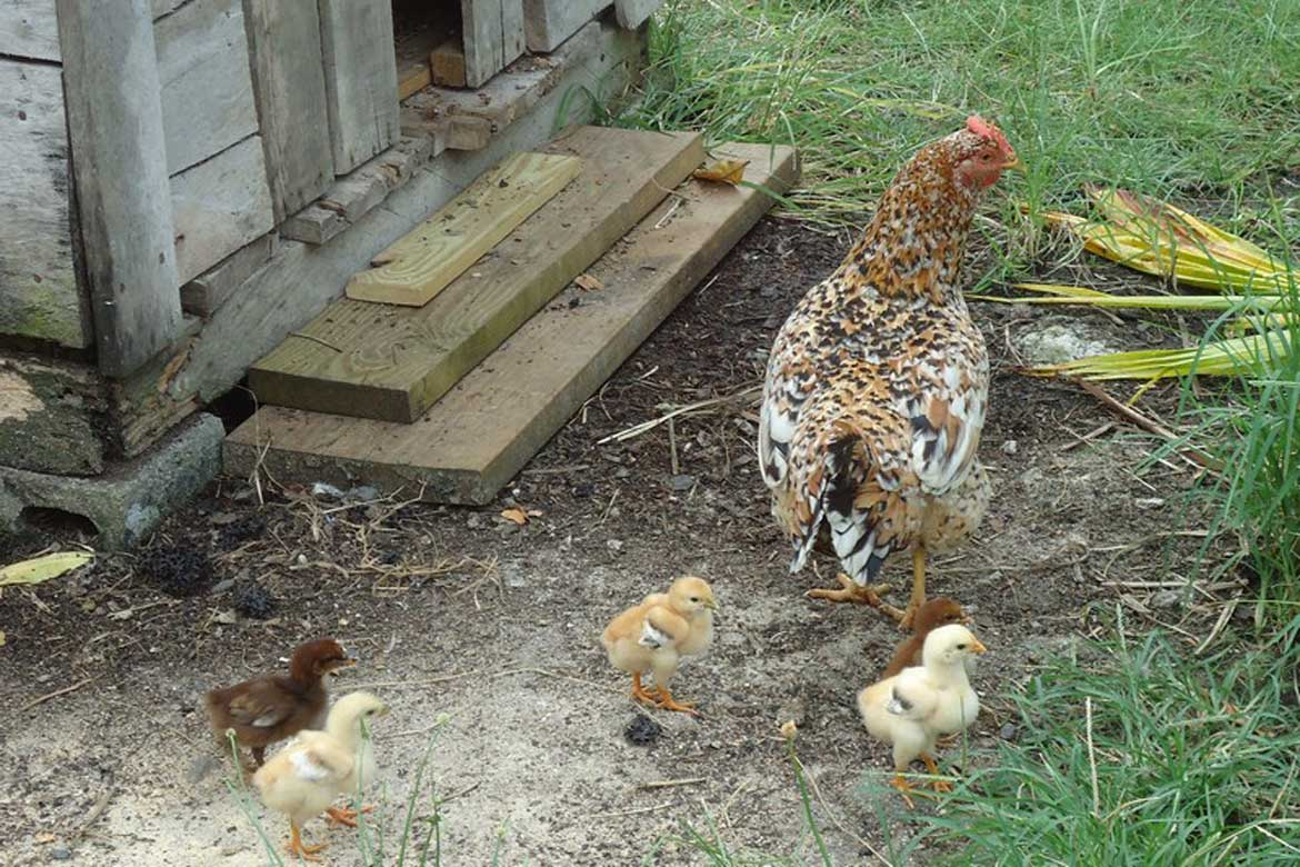 House Sitting Gina and her Chicks