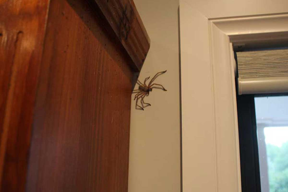 Co-habiting Huntsmen Spiders in Australia