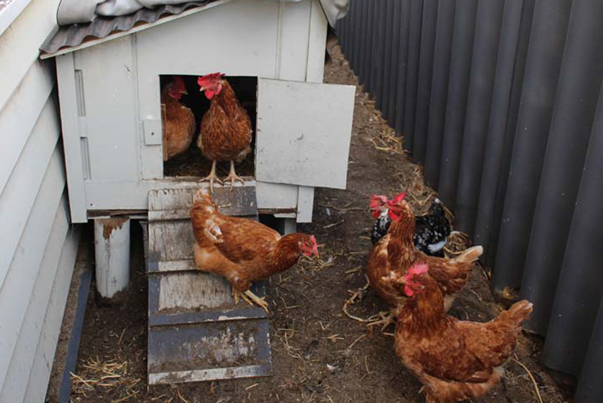 Looking after chickens in Australia