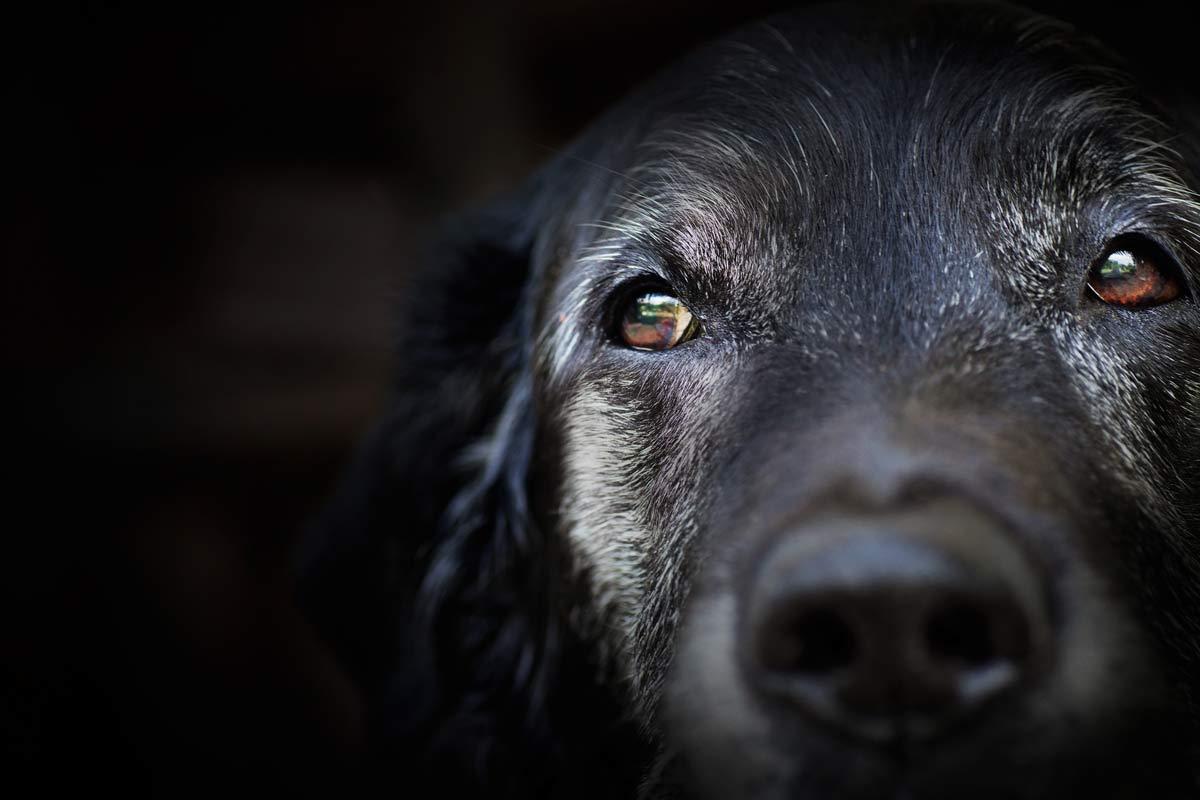 An older black labrador
