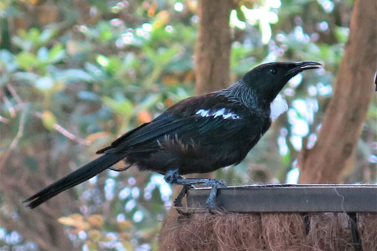 Tui Bird NZ