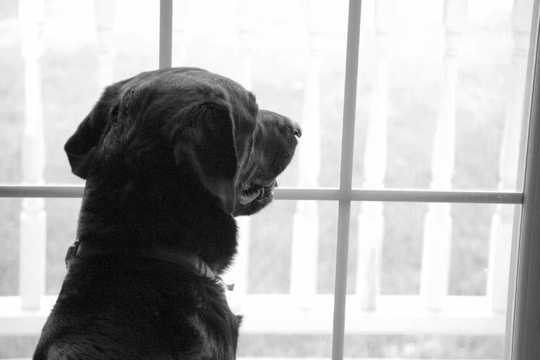 Anxious labrador on house sit