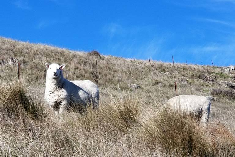 Accidental sheep in NZ